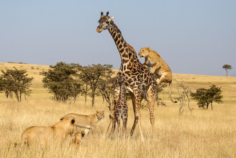 In the Olare Motorogi Conservancy of Kenya a mother giraffe tries to protect her young baby from a pride of female and young lions trying to attack it. Salivating out of stress, the first female lion jumps on the mother giraffe to separate her from her baby.