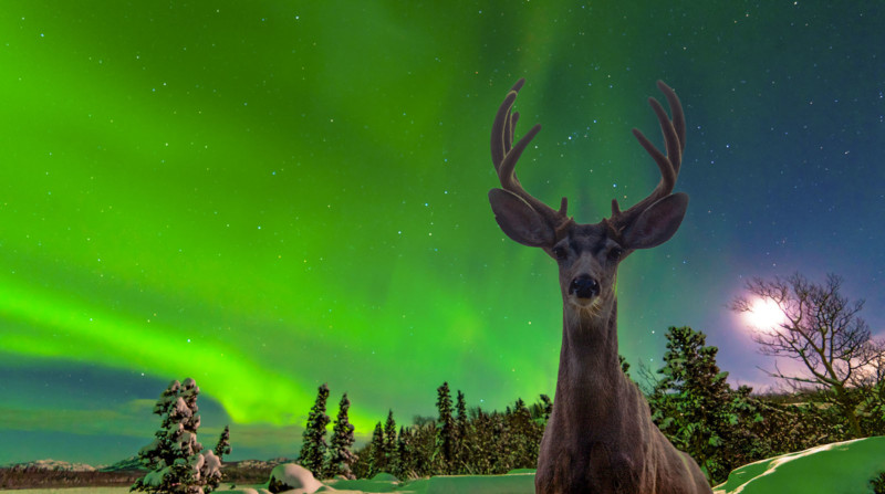 Curious mule deer Odocoileus hemionus staring in camera while photographing spectacular display of green Northern Lights Aurora borealis over moon-lit boreal forest taiga